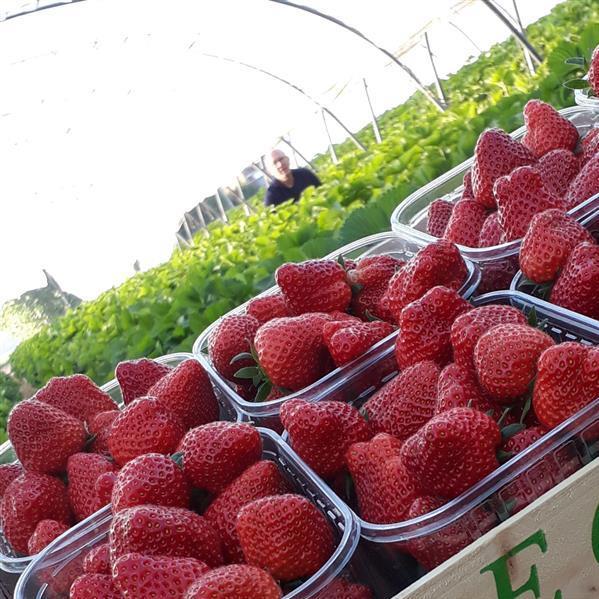 Aardbeien Hoeveproducten Roose