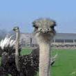 Struisvogelboerderij Schobbejaks Hoogte