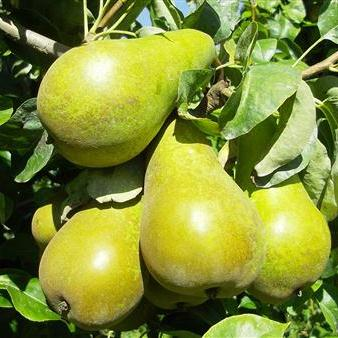 Peren Steffi-fruit