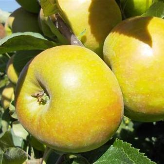 Appel Fruit Lambrecht-Baart